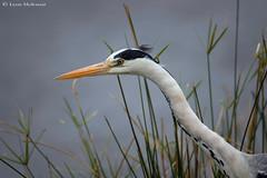 Frozen (leendert3) Tags: leonmolenaar southafrica krugernationalpark wildlife nature birds greyheron ngc npc coth coth5