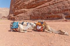 Camels in Wadi Rum, Jordan (George Pachantouris) Tags: jordan hasemite petra aqaba amman middle east travel tourism holiday warm arab arabic wadi rum desert bedouin camel sand heat