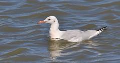 Slender-billed Gull      (Chroicocephalus genei) (nick.linda) Tags: slenderbilledgull chroicocephalusgenei gulls spain wildandfree canon7dmkii canon100400mki