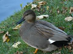 Gadwall IV (Dr Nigel) Tags: northeast england panasonic lumix dmcfz8 hardwickpark hardwick park nature wildlife bird duck gadwall anasstrepera