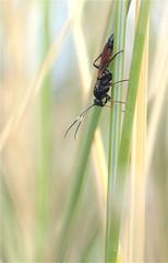 Parasitoid wasp (Ichneumonidae) (*Aña*) Tags: hymenoptera wasp hautflügler schlupfwespe