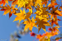 Autumn gold (Irina1010) Tags: leaves maple golden red sky blue light colorful autumn november 2018 canon nature coth5