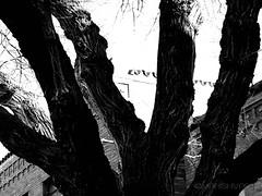 sprawl (Mahishvar) Tags: snow winter birch tree nature trees street art photography trunk sky landscape photographer photooftheday love naturephotgraphy mothernature walking black white bampw monochrome fine silhouette