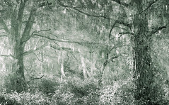 A Woodland Vision (Charles Opper) Tags: autumn bw canon canon6d canon70200mm georgia harrisnecknationalwildliferefuge quercus spanishmoss blackandwhite forest landscape light monochrome moss multipleexposure nature oak oaktrees trees woods