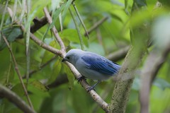Blue-Gray Tanager (Jaime Alberto Salazar alzate) Tags: 71k4304 bird colombia envigado birdwatching