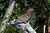 Hazel Grouse at Majavatn S24A0296 (grebberg) Tags: majavatn grane nordland norway august 2018 hazelgrouse bonasabonasia bonasa grouse bird