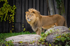 A Lion Named Doc (Eric Tischler) Tags: doc lion cleveland ohio zoo