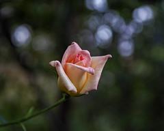2018 Autumn rose (shinichiro*) Tags: 20181016sdim6107 2018 crazyshin sigmasdquattroh sdqh sigma1770mmf284dcmacrohsm november autumn yokohama 横浜イングリッシュガーデン rose flower macro 45197431934 3966937 201811gettyuploadesp