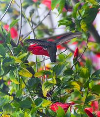 Non senti un frullo d'ali? (forastico) Tags: forastico nikon d7100 colibrì uccello chichicastenango guatemala