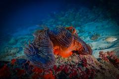Red Anemone and its Clown (hozguler) Tags: maldives nikon seaandsea ysd1 anemone anemonefish redanemone coralreef underwater scubadiving underwaterphotography scuba savetheoceans