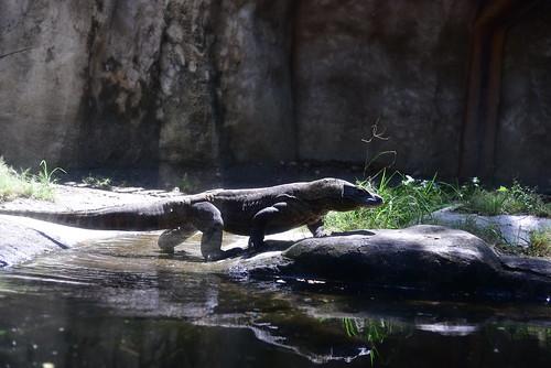 Komodo Dragons are native to Indonesia