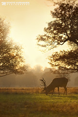 Red Deer VII (Michiyo Photo) Tags: deer reddeer park richmond richmondpark surrey southern england unitedkingdon evening sunset sun shadow orange lines trees canon