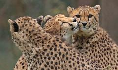 cheetah Burgerszoo 094A1405 (j.a.kok) Tags: animal africa afrika mammal cheetah jachtluipaard acinonyxjubatus acinonyxjubates predator zoogdier dier burgerszoo burgerzoo