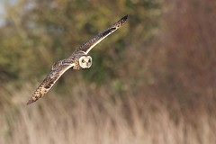 Short-eared Owl (redmanian) Tags: shortearedowl birdofprey owl ianredman sussex
