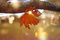 Catch a Falling Star... (KissThePixel) Tags: leaf redleaf brownleaf bokeh tree goldbokeh sunlight sun autumn autumncolours autumnlight autumnleaves garden longacremanor light nikon nikond750 50mm nature macro closeup