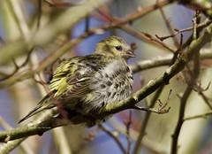 Siskin (Alan McCluskie) Tags: siskin spinusspinus passerine eurasiansiskin commonsiskin birds oiseaux aves uknature nature wildlife coatewater canon7dmk2 sigma150600mmsp