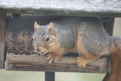Fox Squirrel at the Birdfeeders (Saline, Michigan) - Saturday December 15th, 2018 (cseeman) Tags: foxsquirrels easternfoxsquirrels feeder birdfeeder perch squirrel saline michigan squirrel12152018 hungry squirrelfeeder