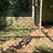 The Jaguatirica, Mini Zoo, Antonio de Pádua Nunes Park, Saint Peter Island, Saint Joseph of the Rio Pardo, São Paulo (State), Brazil.