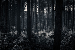 Row upon row (joshdgeorge7) Tags: forest woods black white trees pine contrast pentax bracken autumn walk walking linear winter sunlight sunset light