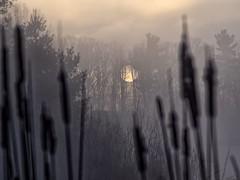 Looking back.... (Steve InMichigan) Tags: sunrise sunriseglow sunrisefog lakesunrise cattailreeds treeline trees morningsunrise morningglow morningfog kiron70150mmf40lens fotasyfdflm43lensadapter