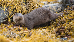 Otter - Lutra Lutra (coopsphotomad) Tags: otter 'lutra lutra' fur mammal animal wildlife nature wild predator seaweed shore mull scotland apex canon wet green brown sea beach outdoor pinknose explored