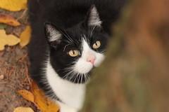 (nettisrb) Tags: mace kedi katt katte chat cat kotka kot huskatt kattdjur kat felina felin kass mascka chatte kissa gato gata gatta felis herbst autumn