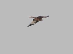 IMG_5234 (monika.carrie) Tags: redkite monikacarrie wildlife scotland aberdeenshire royaldeeside