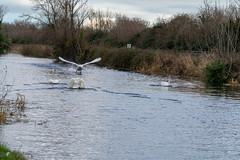 FIGHTING SWANS [ ROYAL CANAL BETWEEN BROOMBRIDGE AND ASHTOWN]-148322 (infomatique) Tags: birds swans fight wildlife nature water canal royalcanal canalwalk sony a7riii batis zeiss 135mmlens williammurphy infomatique fotonique ireland