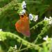 ecosystem/fauna/Sahyadri Orange Awlet(Burara jaina fergusonii)