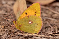 Butterfly (Tunay AYBERKIN) Tags: izmir izmirprovince turkey tr butterfly