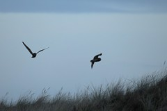 IMG_1869 (LezFoto) Tags: shortearedowl asioflammeus forviennr aberdeenshire scotland canoneos700d sigma 700d canon 120400mmf4556dgapooshsm digitalslr dslr canonphotography sigmalens strigiformes birdofprey raptor