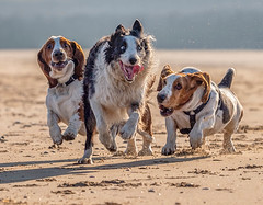 Hounded (Chris Willis 10) Tags: bassetswaddle beach crosby dogs will bordercollie sheepdog bassethounds play