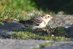 Snow Bunting (Plectrophenax nivalis) (Brian Carruthers-Dublin-Eire) Tags: snow bunting snowbunting plectrophenax nivalis plectrophenaxnivalis passeriformes emberizidae bruantdesneiges schneeammer escribanonival zigolodellenevi sneeuwgors bird animalia animal nature wildlife howth co dublin ireland eíre birdwatchireland birdwatch birdwatchfb birdwatching aves avian creature outdoor