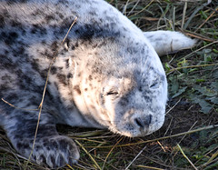 When it's just too bright !! (littlestschnauzer) Tags: grey seal pup baby cute adorable animals fluffy coastal wildlife nature uk lincolnshire donna nook seals young youngster eyes closed