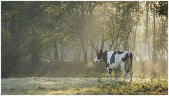 Warming up (Rob Schop) Tags: cow morning cold light tele sony55210oss sonya6000 handheld leuvenumsebos