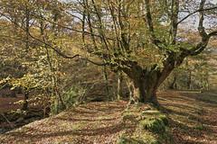 Luces y sombras (Txaro Franco) Tags: ucieda cantabria bosque naturaleza otoño fall udazkena basoa zuhaitza hojas luz sombra