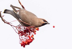 Dropped Berry (Chris Willis 10) Tags: waxwings bird animal nature wildlife feather beak flying animalwing oneanimal outdoors branch animalsinthewild beautyinnature red birdwatching colorimage nopeople closeup white spreadwings rowanberries