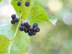 アオツヅラフジ (Cocculus orbiculatus) (takapata) Tags: olympus em5 m60mm f28 macro berries nature