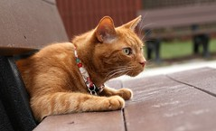It's not obvious how these park benches are supposed to work (Kerri Lee Smith) Tags: mack cats felines tabbies tabby bench parkbench orangecats orangetabbies gingercats gingertabbies winter collars catcollars cateyes