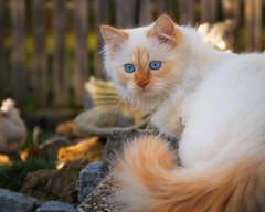 Where is the snow ? (FocusPocus Photography) Tags: tofu dragon katze kater cat chat gato tier animal haustier pet garten garden