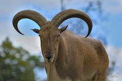 Aoudad (jt893x) Tags: 150600mm ammotraguslervia aoudad barbarysheep d500 goat jt893x nikon nikond500 ram sheep sigma sigma150600mmf563dgoshsms thesunshinegroup coth coth5