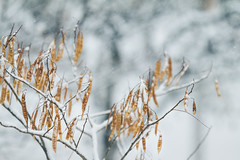 A First snow (Inka56) Tags: snow hbw bokeh pods seeds tree winter winterbeauty wondersofwinter