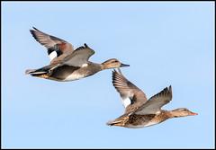 Gadwalls (Ed Sivon) Tags: america canon nature lasvegas wildlife western wild southwest desert ducks clarkcounty vegas flickr bird henderson nevada