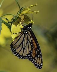 MonarchButterfly_SAF0020 (sara97) Tags: danausplexippus butterfly copyright©2018saraannefinke insect missouri monarch monarchbutterfly nature photobysaraannefinke pollinator saintlouis towergrovepark urbanpark