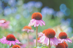 Summer Dreaming... (KissThePixel) Tags: echinacea summer summerdays summermeadow meadow garden bokeh bokehlicious beautiful pastel flowers depthoffield dof dofalicious dreamy nikon light makro macro closeup