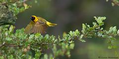 Luck shot (leendert3) Tags: leonmolenaar southafrica krugernationalpark wildlife nature birds southernmaskedweaver ngc npc naturethroughthelens coth coth5