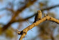 Kenya, Safari (Ninara31) Tags: kenya safari wildlife wildanimal africa bird africanbird samburu nationalpark