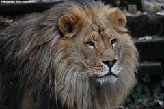 African lion - Olmense Zoo (Mandenno photography) Tags: animal animals african lion lions leeuw leeuwen bigcat big cat belgie belgium olmense olmensezoo olmen balen ngc nature cats