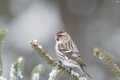 ''Chaperon rouge!'' Sizerin flammé- Common redpoll (pascaleforest) Tags: oiseau bird animal passion nikon nature wild wildlife faune québec canada winter hiver