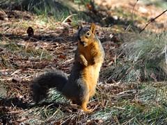 Snacking squirrel (EcoSnake) Tags: squirrels snacking easternfoxsquirrel sunlight january idahofishandgame naturecenter